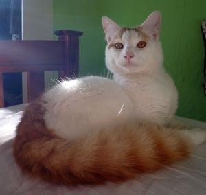 1024pxmorris_a_cat_of_the_turkish_van